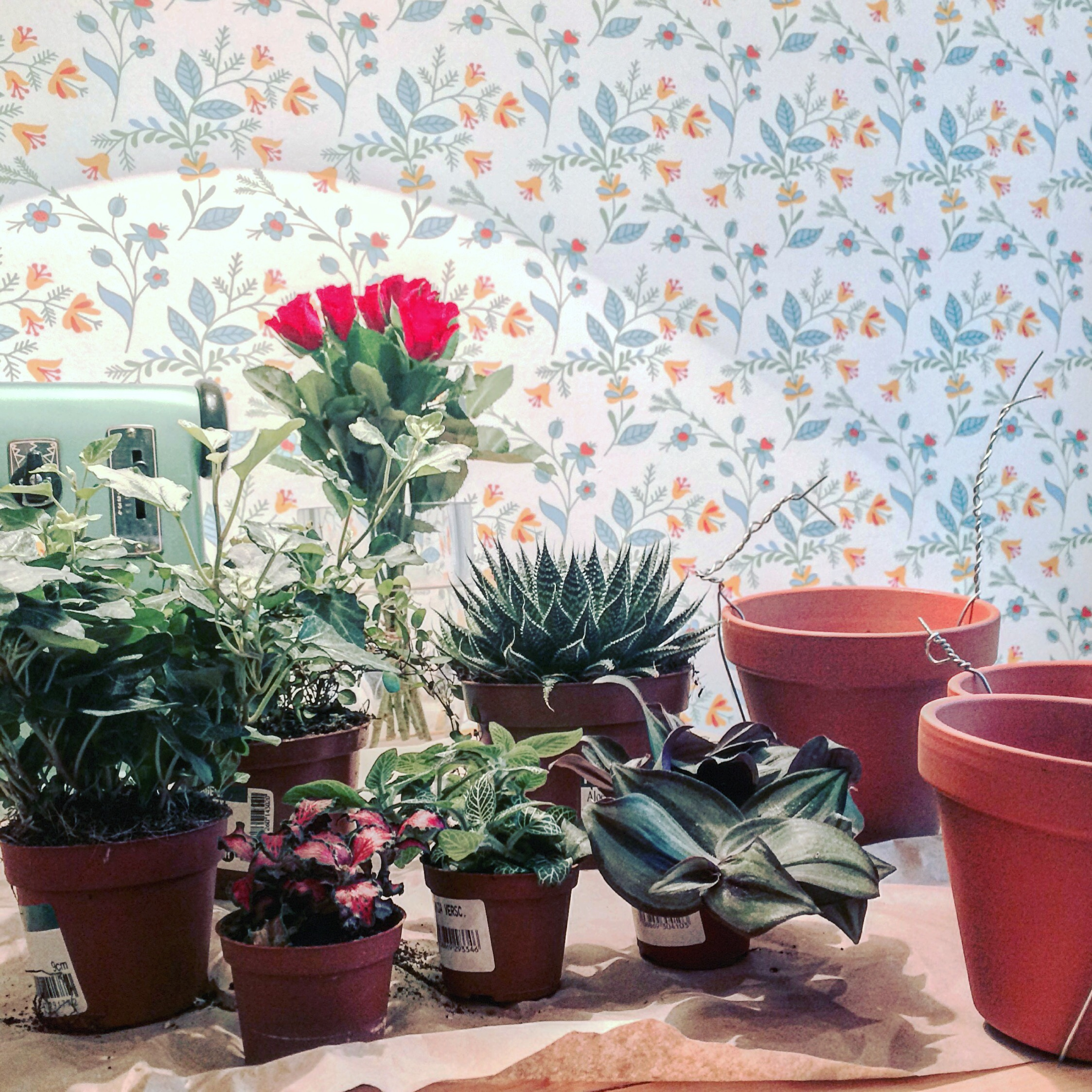 Bild på växterna i innerkrukor med lerkrukor bredvid.