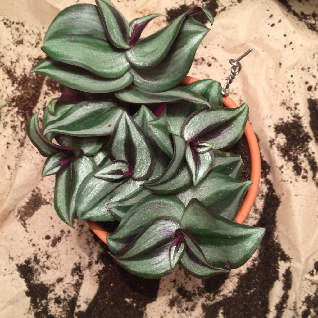 Närbild på zebrablad ovanifrån. Bladen är lila med silverskimrande delar.